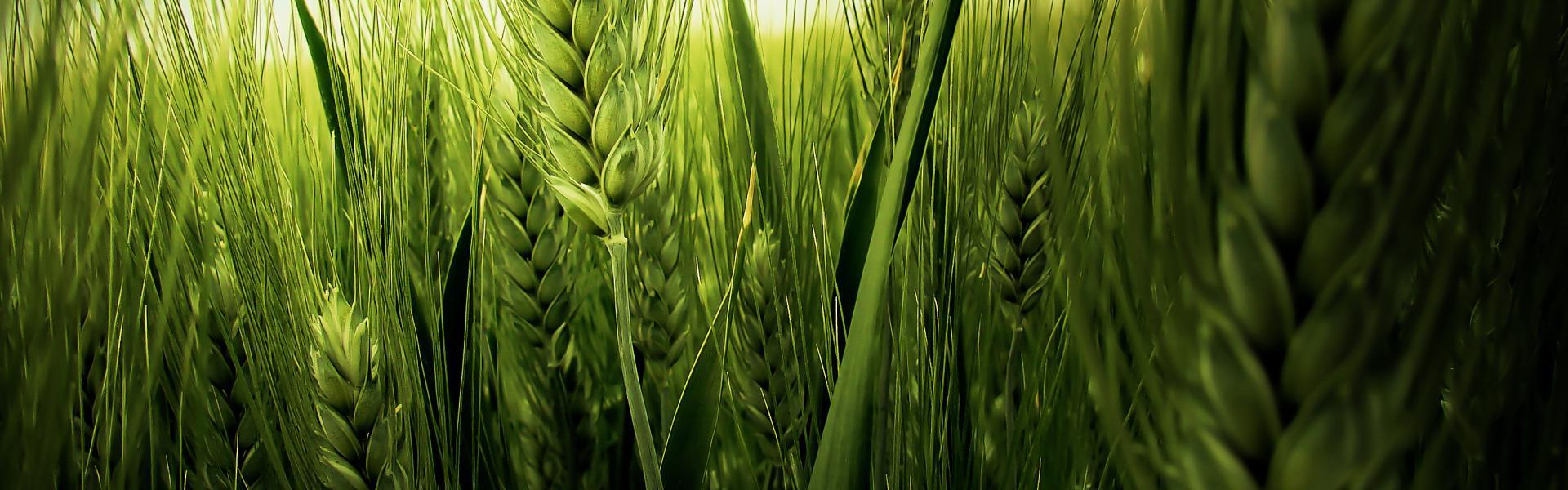 Cereales Alfalfa